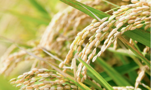 玄米のカロリーは白米と変わらない?玄米がダイエットに人気の理由・効果とは