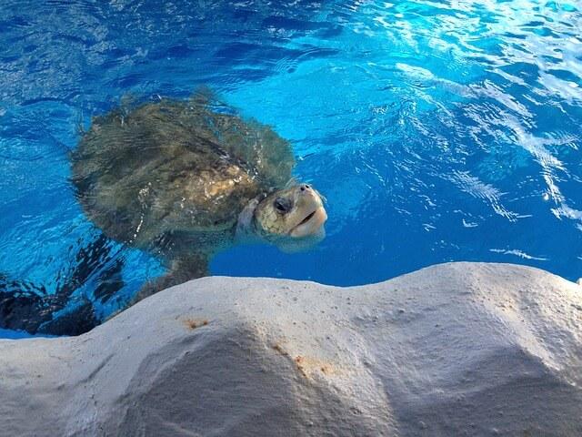 【夢占い】亀と一緒に泳ぐ夢の意味は?